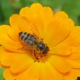 Ubod pčele leči!