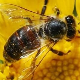 Životni ciklus medonosne pčele